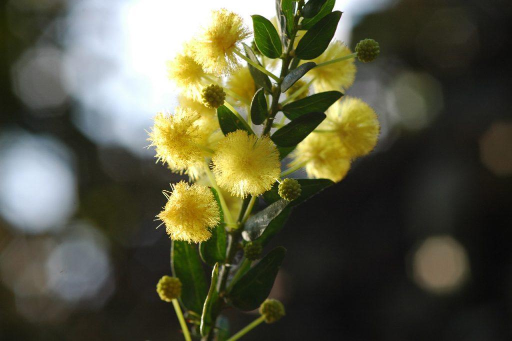 mimosa-festa-della-donna